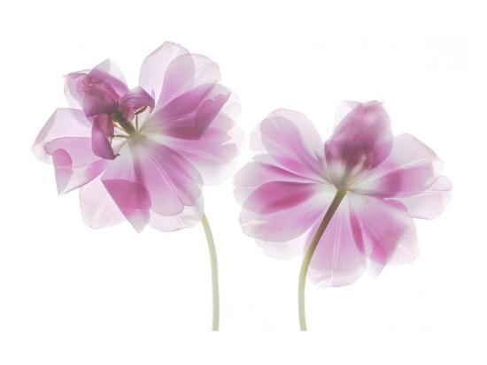 Double Tulip-Judy Stalus-Art Print