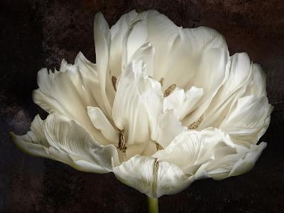 Double White Tulip-Cora Niele-Photographic Print