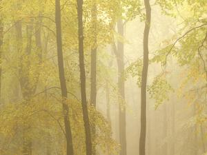 Forest Fog 3 by Doug Chinnery