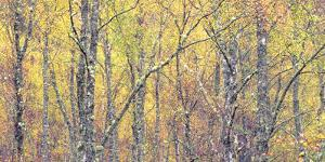 Golden Tapestry by Doug Chinnery