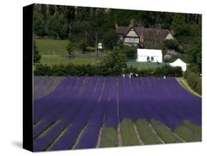 Lavender Fields. by Doug McKinlay