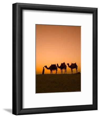 Camels Near the Pyramids at Giza, Cairo, Egypt