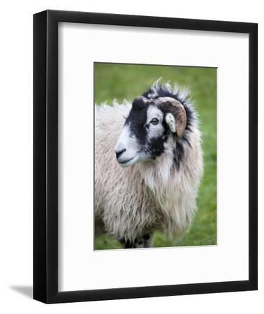Herdwick Sheep, Borrowdale, Lake District, Cumbria, England