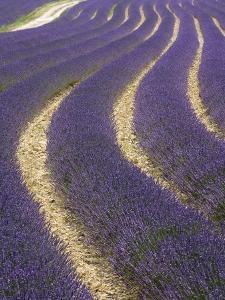 Lavender field by Doug Pearson