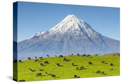 Mount Taranaki (Egmont) and Grazing Dairy Cows, Taranaki, North Island, New Zealand