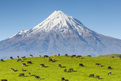Mount Taranaki (Egmont) and Grazing Dairy Cows, Taranaki, North Island, New Zealand by Doug Pearson