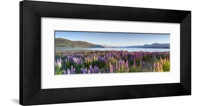 Wild Lupins, Lake Tekapo, Mackenzie Country, Canterbury, South Island, New Zealand
