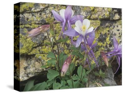 Blue Columbine, Aquilegia Coerulea, Colorado, Usa State Flower