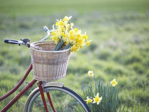 Freshly Picked Daffodils in a Bicycle Front Basket by Dougal Waters