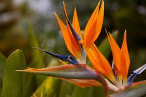 Bird of Paradise Flower, Kula Botanical Garden, Upcountry, Maui, Hawaii, USA by Douglas Peebles