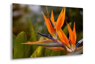 Bird of Paradise Flower, Kula Botanical Garden, Upcountry, Maui, Hawaii, USA