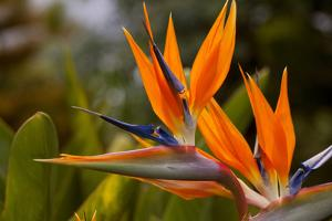 Bird of Paradise Flower, Kula Botanical Garden, Upcountry, Maui, Hawaii, USA by Douglas Peebles