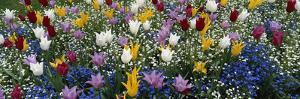 Canada, British Columbia, Victoria, View of Tulips Flowerbed by Douglas Peebles