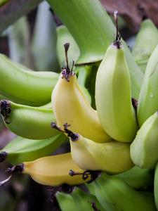 Green and yellow bananas by Douglas Peebles