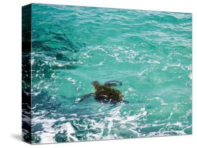 Green sea turtle, Hawaii