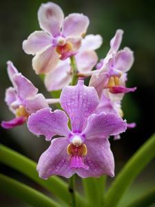 Orchid, Hawaii by Douglas Peebles