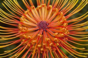 Protea Flower, Kula Botanical Garden, Upcountry, Maui, Hawaii, USA by Douglas Peebles