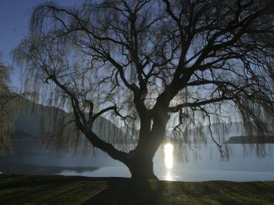 Willow Tree, Lake Wanaka, Wanaka, South Island, New Zealand by Douglas Peebles