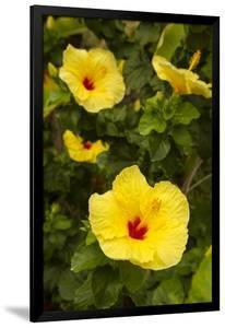 Yellow Hibiscus, Hawaii State Flower, Kailua-Kona, Big Island, Hawaii, USA by Douglas Peebles