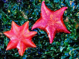 Bat Starfish at Low Tide by Douglas Steakley