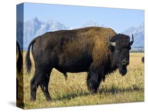 Bison by Douglas Steakley