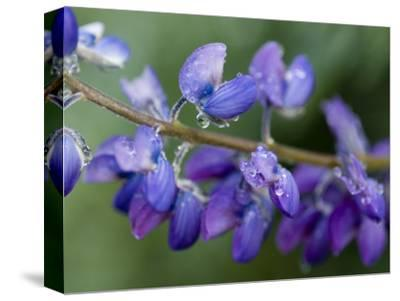 Close-Up of Lupine