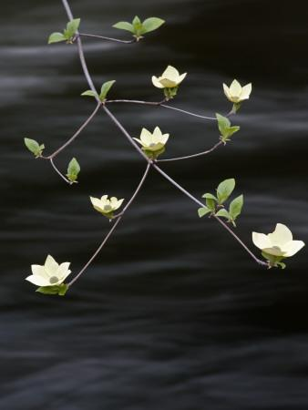 Dogwood Blossom Above the Merced River