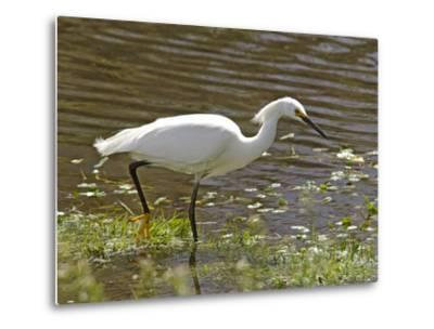 Great White Heron in Elkhorn Slough