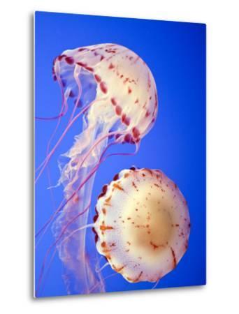 Jellyfish in Monterey Bay Aquarium