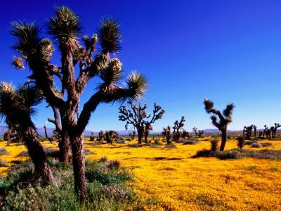 Joshua Trees and Spring Wildflowers Near Mojave