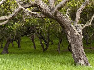 Oak Trees by Douglas Steakley