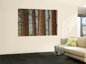 Pine Tree Trunks by Douglas Steakley
