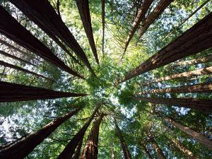 Redwood Grove by Douglas Steakley
