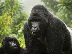 Silverback Agashya and Baby in Group 13 Gorilla Family by Douglas Steakley