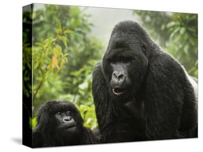 Silverback Agashya and Baby in Group 13 Gorilla Family