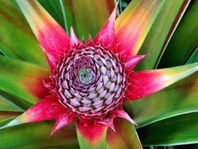 Young Pineapple Plant in Golf Dulce Area by Douglas Steakley