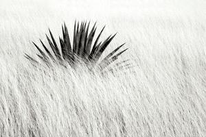 Agave BW II by Douglas Taylor