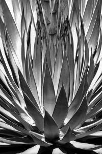 Agave Finale BW by Douglas Taylor