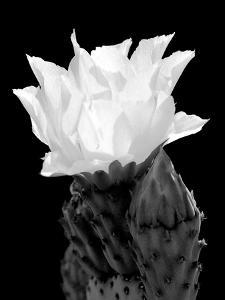 Beaver Tail Cactus Flower BW by Douglas Taylor