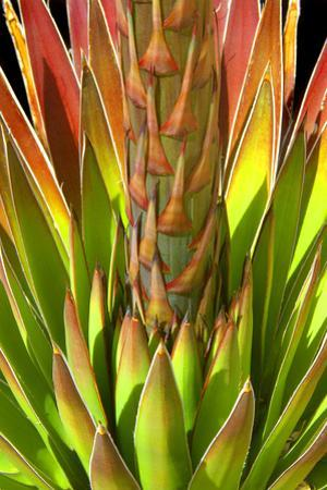 Colorful Agave I by Douglas Taylor
