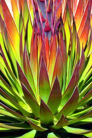 Colorful Agave II