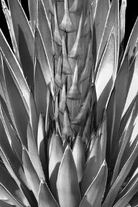 Flowering Agave BW by Douglas Taylor