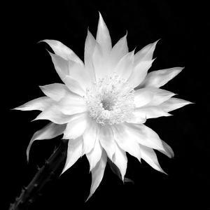 Beautiful flowers black and white photography artwork for sale penocereus greggii bw by douglas taylor mightylinksfo