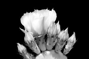 Prickly Pear Blossom and Buds BW by Douglas Taylor
