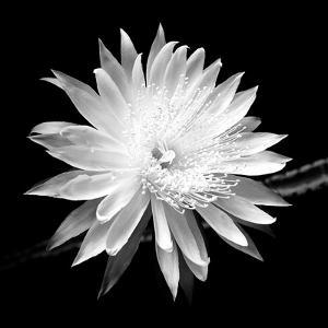 Beautiful Flowers Black And White Photography Artwork For Sale