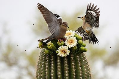 Dove and Woodpecker on Blooming Saguaro Cactus-barbaracarrollphotography-Photographic Print