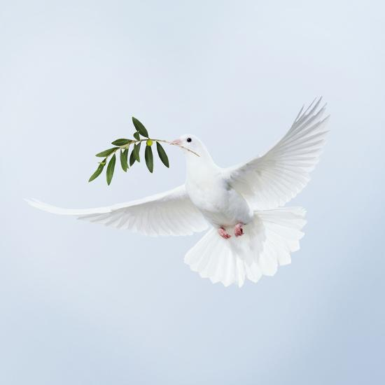 Dove in Flight Carrying Olive Branch in Beak Opeaceo--Photographic Print