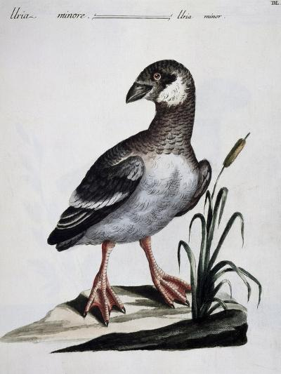 Dovekie (Alle Alle), Coloured Is from History of Birds, 1767, Table 550--Giclee Print