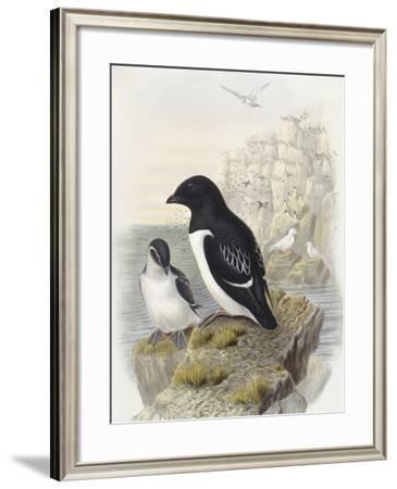Dovekie (Alle Alle)--Framed Giclee Print