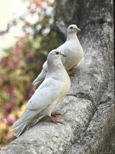 Doves Sitting on Tree Branch, in Chapultepec Park-John Dominis-Photographic Print